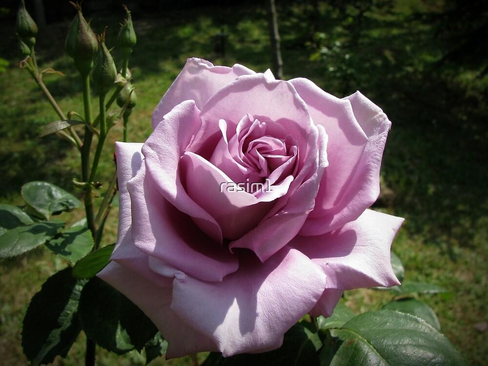 Always Roses! by rasim1