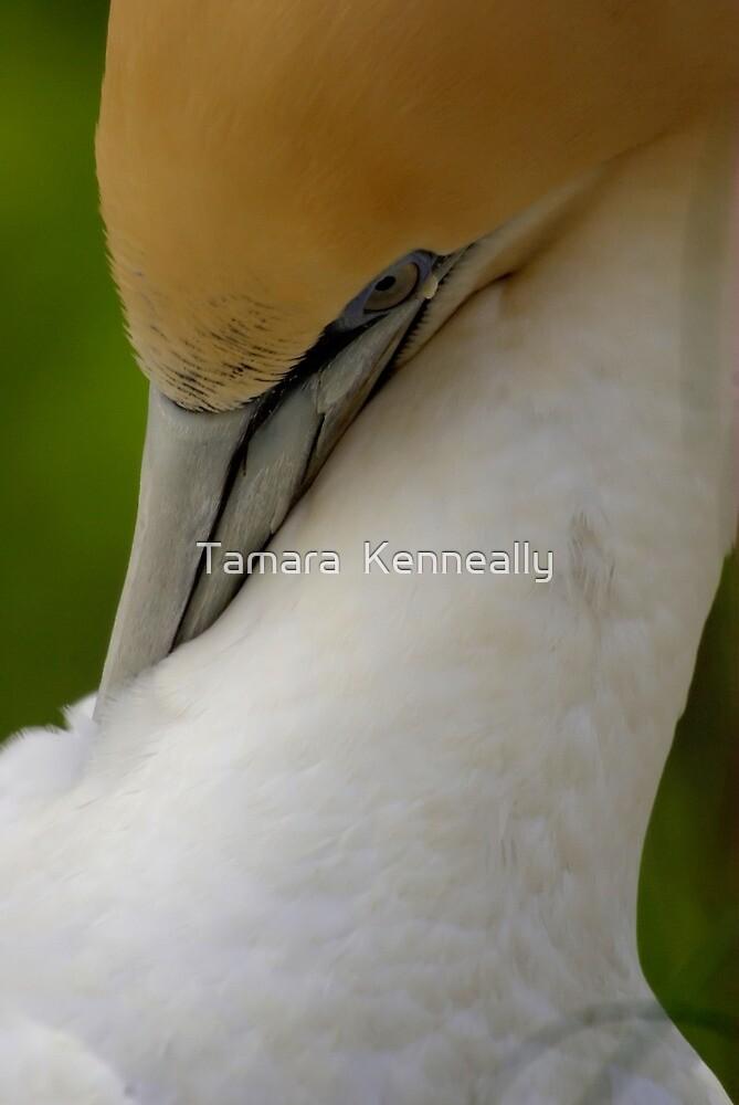 Australasian Gannet by Tamara  Kenneally