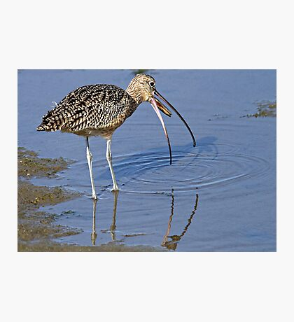 Long Billed Curlew Photographic Print