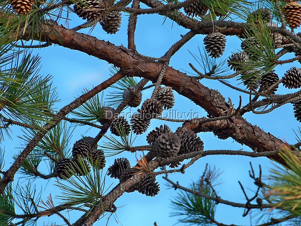 All the Pine Cones by Dandelion Dilluvio