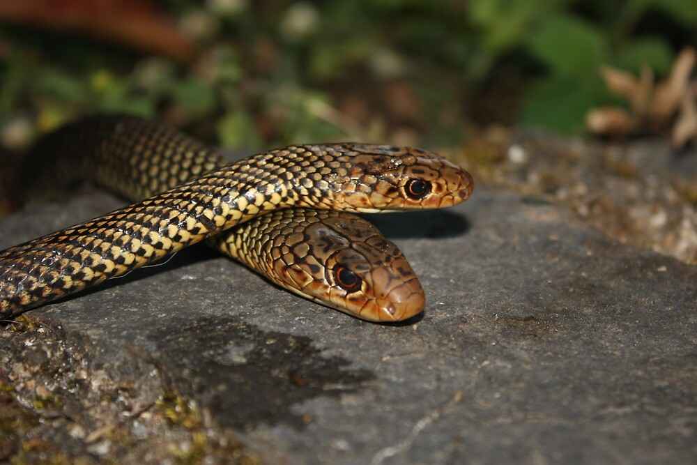 Snake Passion  by James Bedford