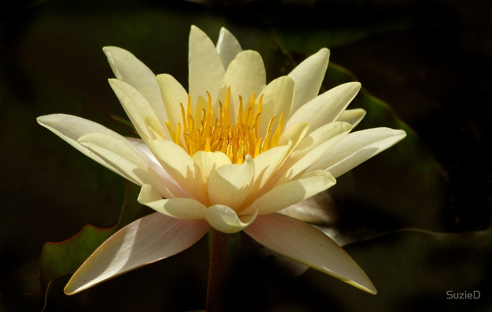White lilly by SuzieD