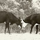 Cows meet and greet by Judith Cahill