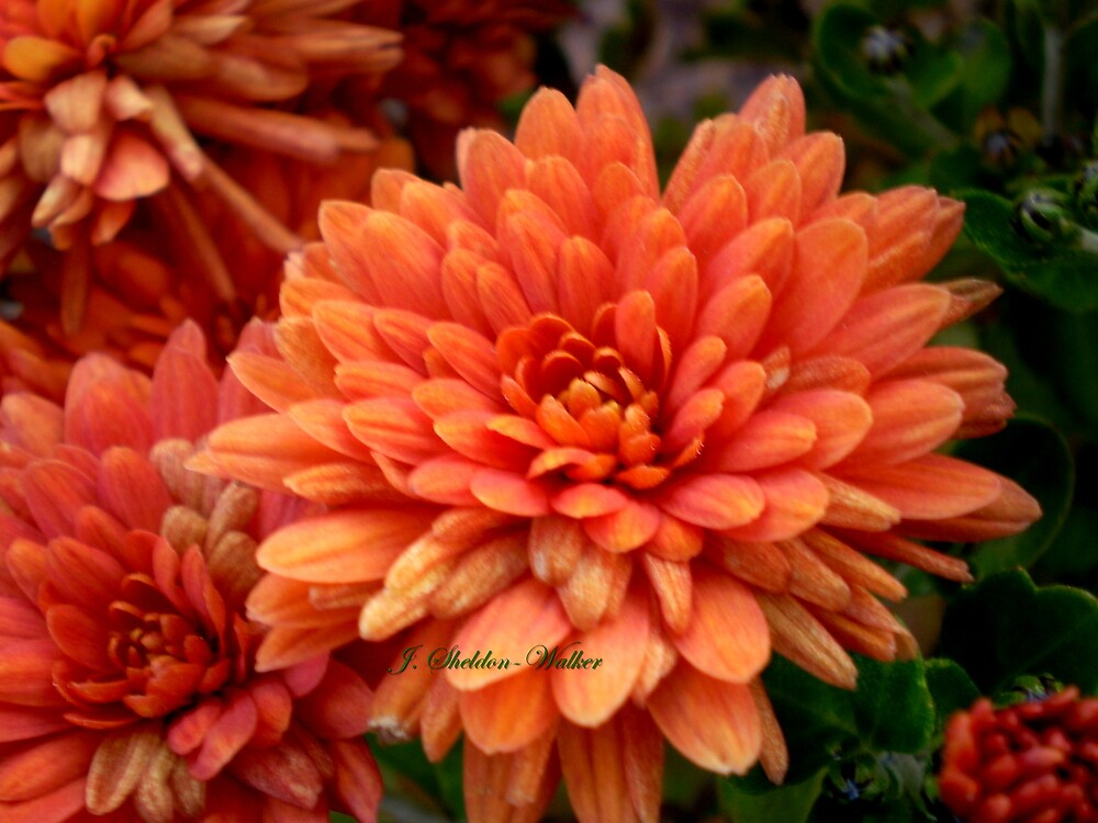 Vibrant orange colored chrysanthemums by HardworkinJudy