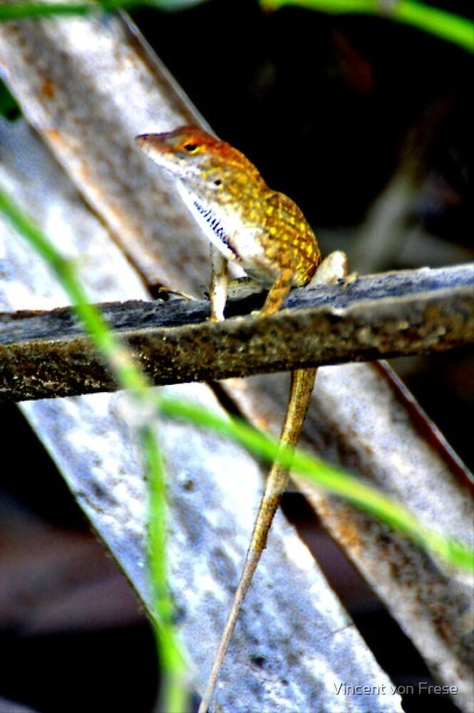 Anolis in the Everglades(On Snake Road) by Vincent von Frese