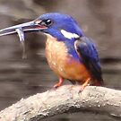 azure kingfisher on a branch by gaylene