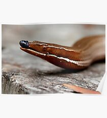 Hang on while I wipe my nose! (Burton's legless lizard)  Poster