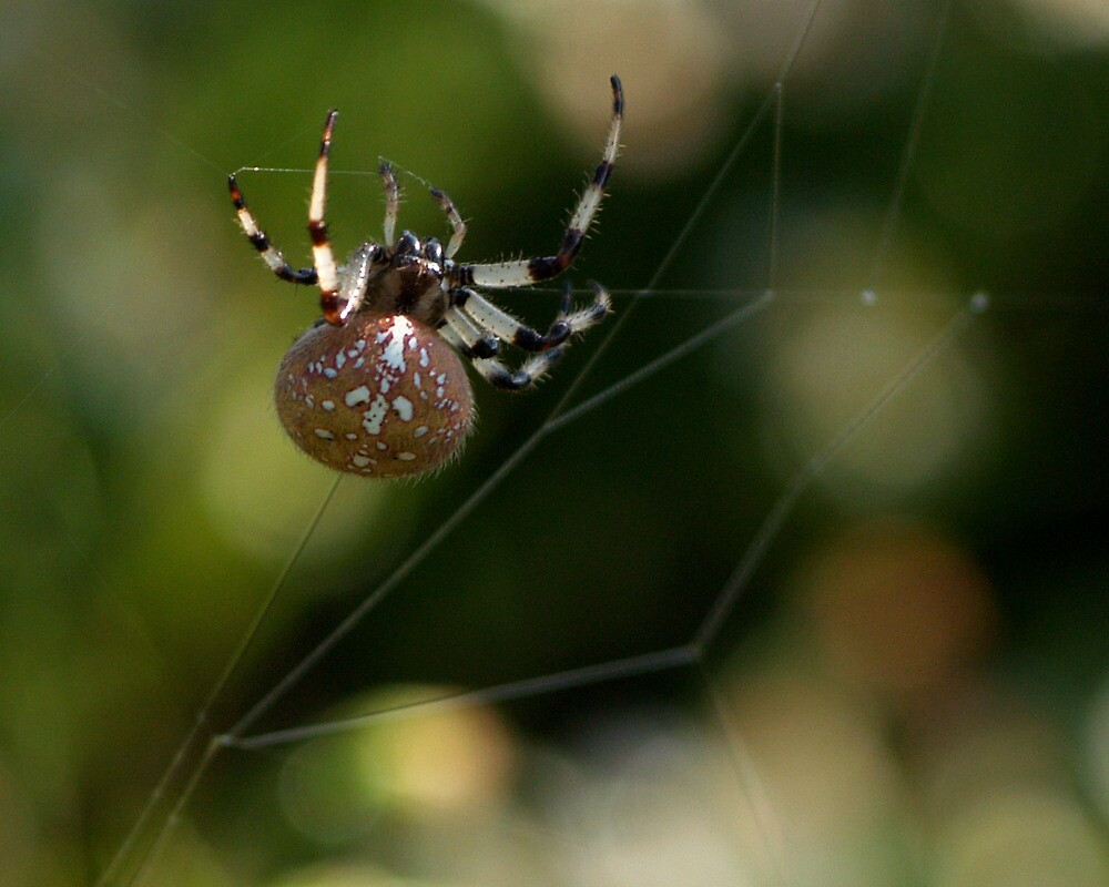 Female Shamrock Spider 01 by DigitallyStill