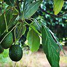 An avocado tree at Summerland House by myraj
