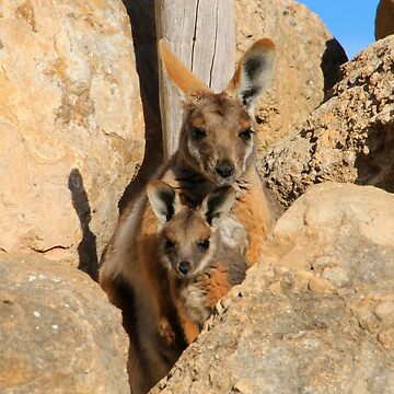 Yellow-footed rock wallaby and joey by FranWest