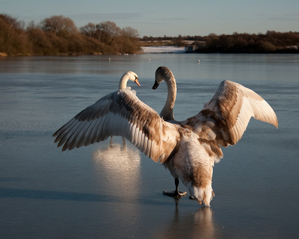 Signet and Swan on Ice by Squawk
