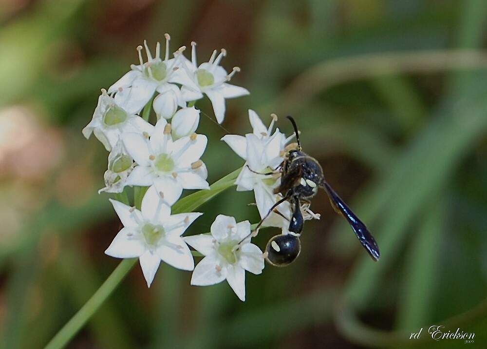Wild Garlic Flowers and Wasp by rd Erickson