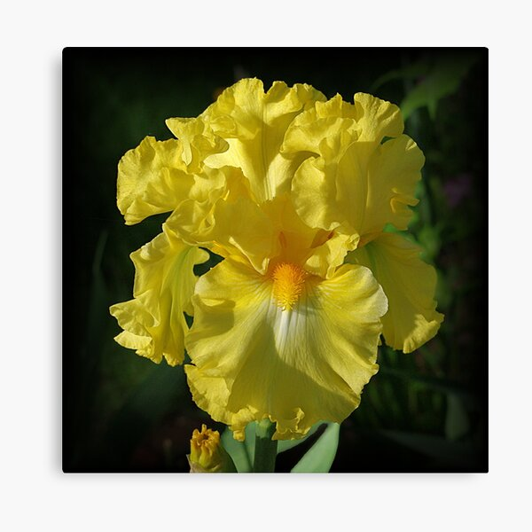 Golden Iris flower Canvas Print