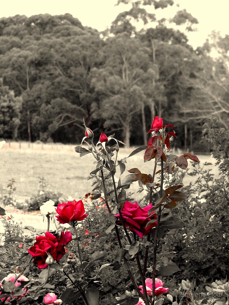 Red Red Rose by Sherene Clow