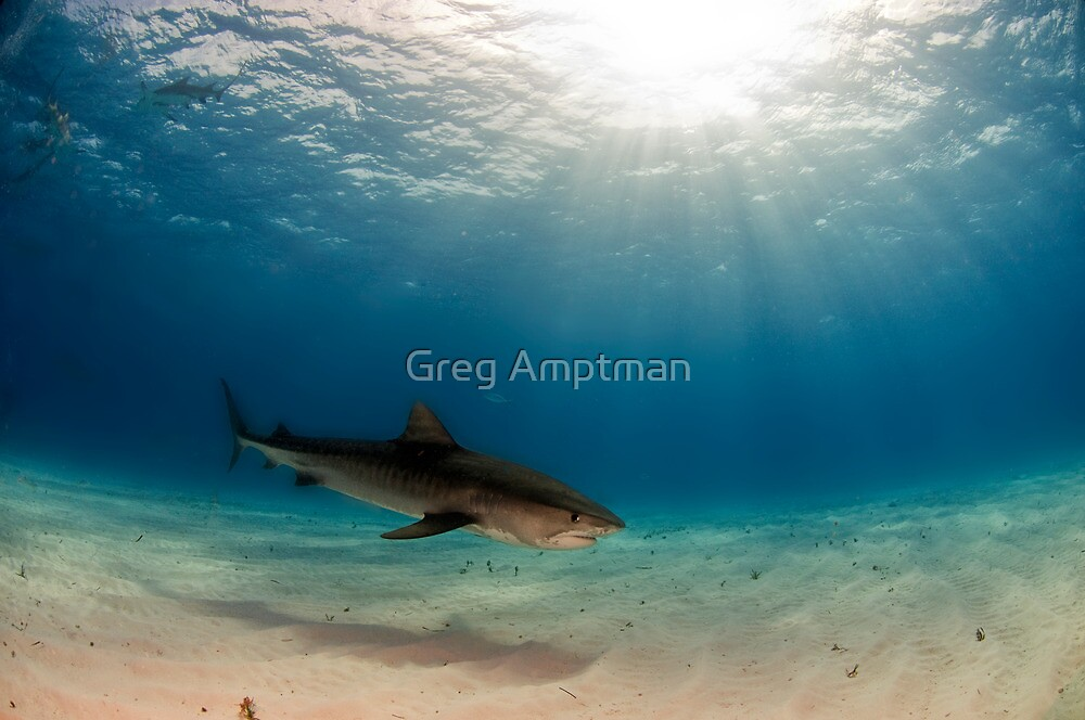 God Loves Tiger Sharks Too by Greg Amptman