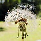 Dandelions by karenanderson