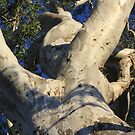 Branching out - Boonah bush by Stecar