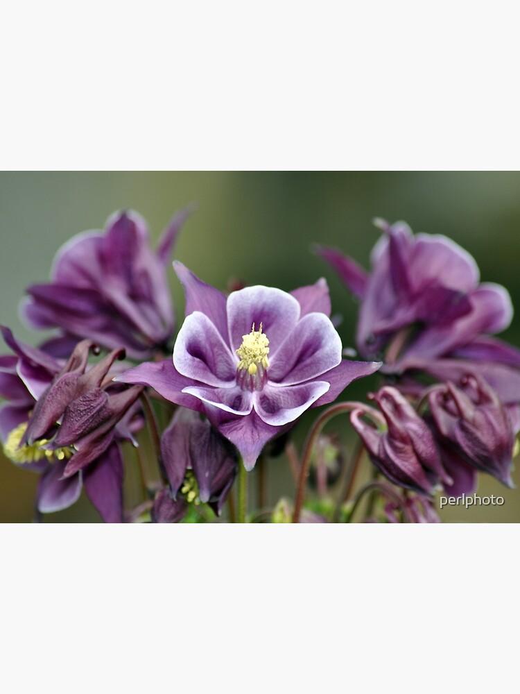 Purple Columbine Flowers Art Board Print By Perlphoto Redbubble