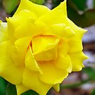 Yellow Rose by gillyisme53