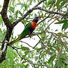 a rainbow lorikeet by gillyisme53
