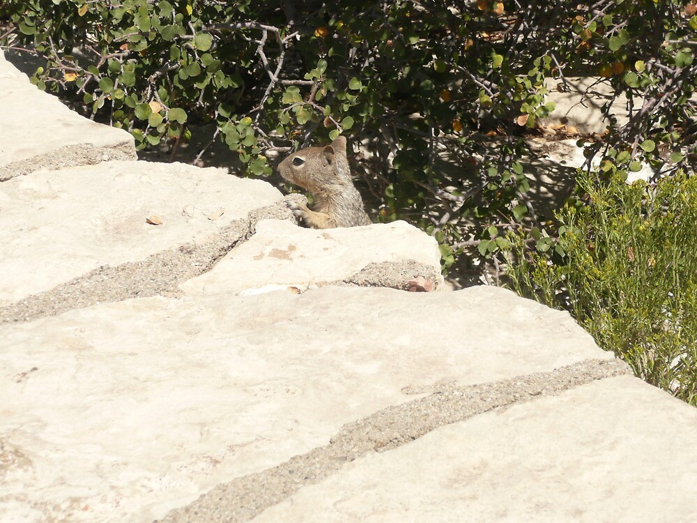 Baby Squirrel on Walkway of the South Rim of the Grand Canyon. by Mywildscapepics
