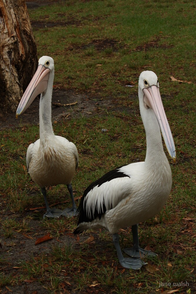 two pelicans by jane walsh