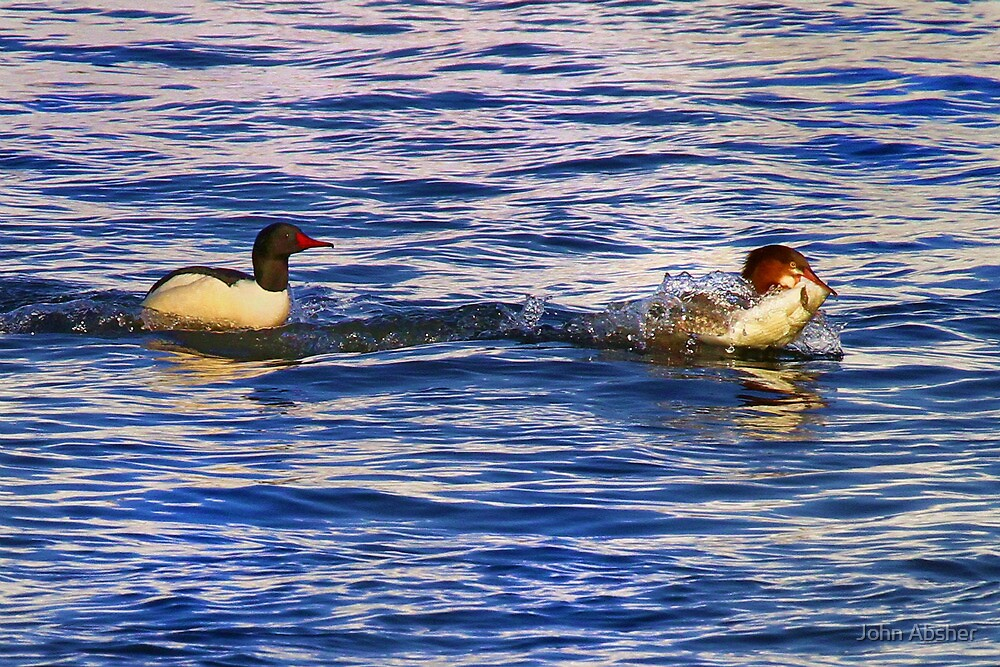 Come And Get It - Common Mergansers Feeding On The Mississippi River by John Absher
