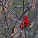 Cardinal on Watch by Brad Chambers