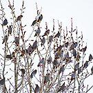Cedar Waxwings # 2 von aldenofwapiti