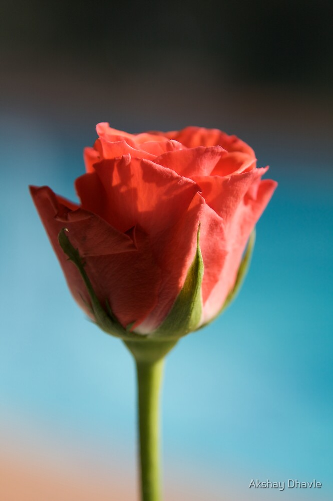 Simple Red Rose by Akshay Dhavle