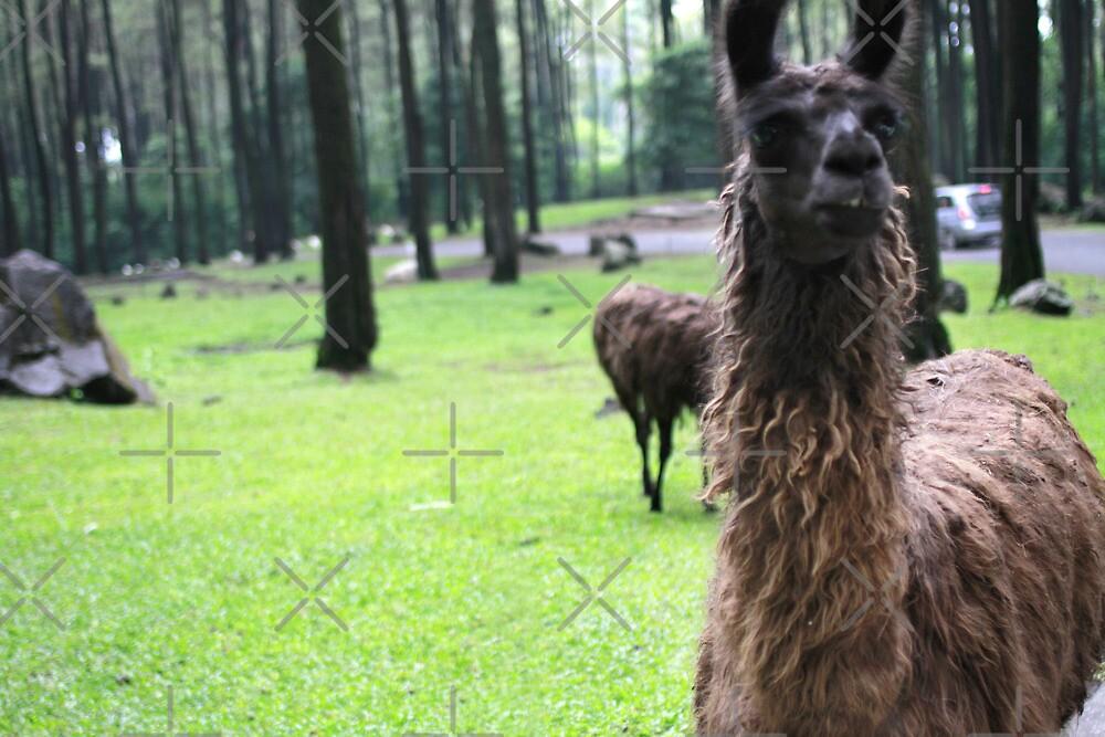 Llama by werxj