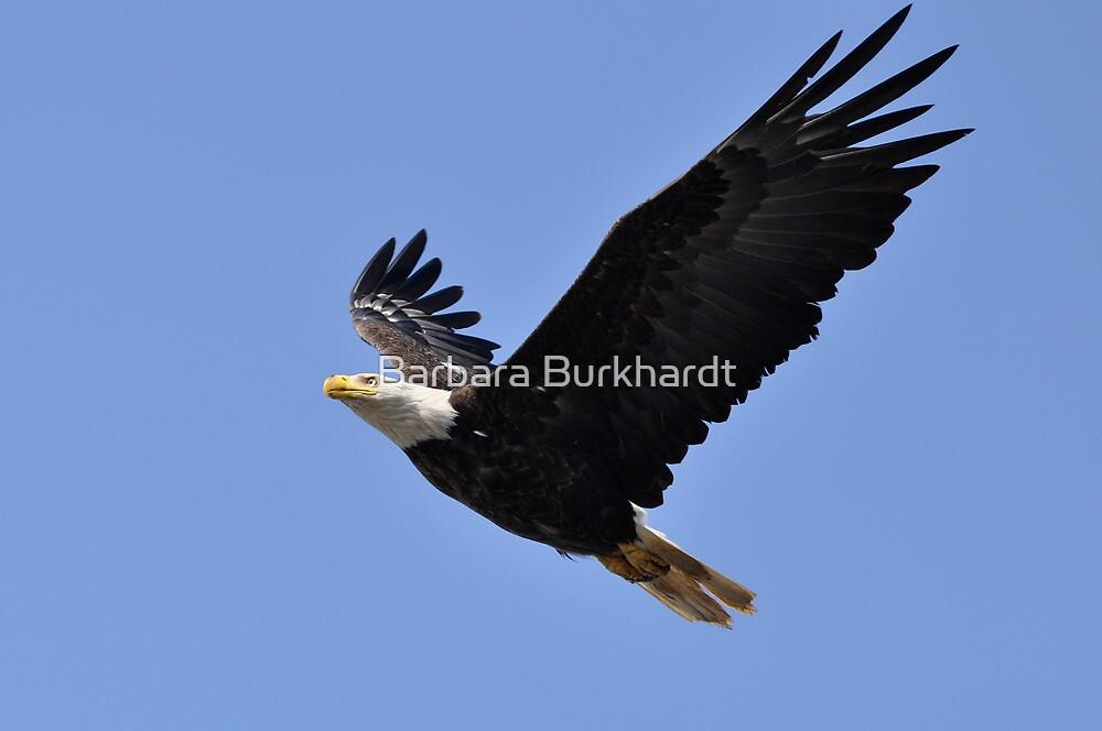 American Bald Eagle - Image 1 by Barbara Burkhardt