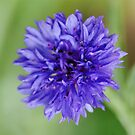 Cornflower Blue Bachelor Button Flower by John Kelly Photography (UK)