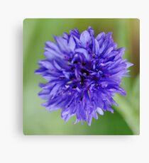 Cornflower Blue Bachelor Button Flower Canvas Print
