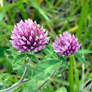 Red Clover by debbiedoda