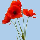 Delicate Red Poppies Vector by taiche