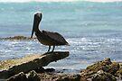 Brown Pelican by Allen Lucas
