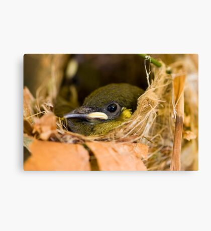 Ready to Fly - honey eater chick Canvas Print