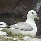Northern Fulmars by Jean Knowles