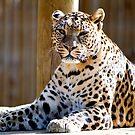 leopard 3 by nakomis