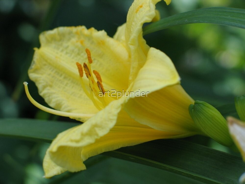 Yellow Lily by art2plunder