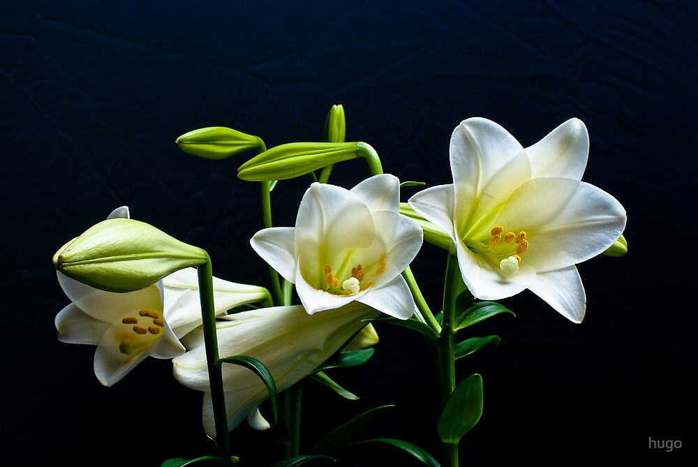 WHITE FLOWERS by hugo