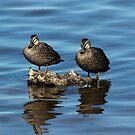 Ducks on the Rocks by Sandra Chung