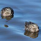 Pacific Black Ducks Resting by Sandra Chung