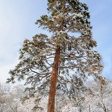 Winter Pine by LudaNayvelt