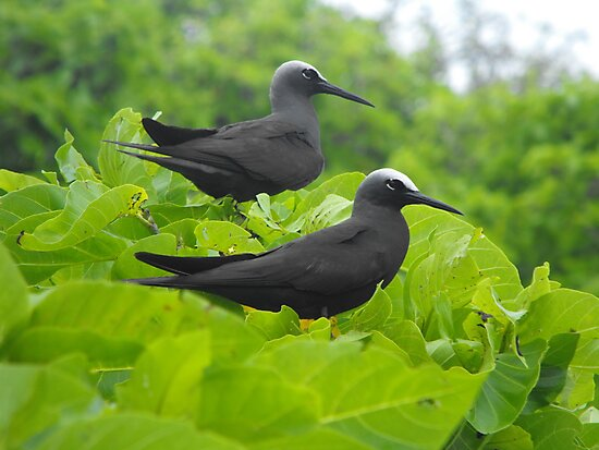Black Noddy by Kay Coates
