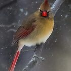 Female Northern Cardinal on a Stormy Winter Day. by gardeneatharmony  http://www.instagram.com/gardeneatharmony