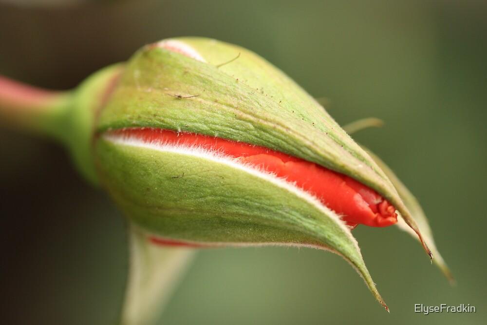 Downy Rosebud by ElyseFradkin