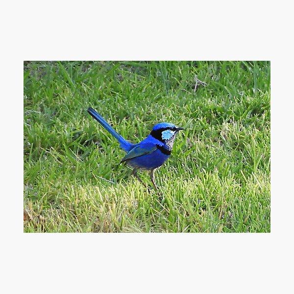 Blue wren 4 Photographic Print