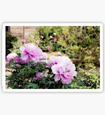 Pink flowers of Peony Sticker